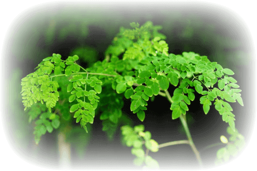 , À propos du moringa, Nia Pure Nature